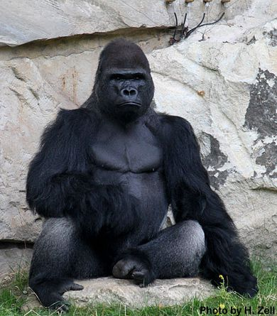 800lb gorilla