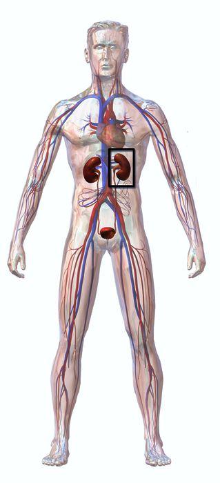 Kidneys in a Human Body